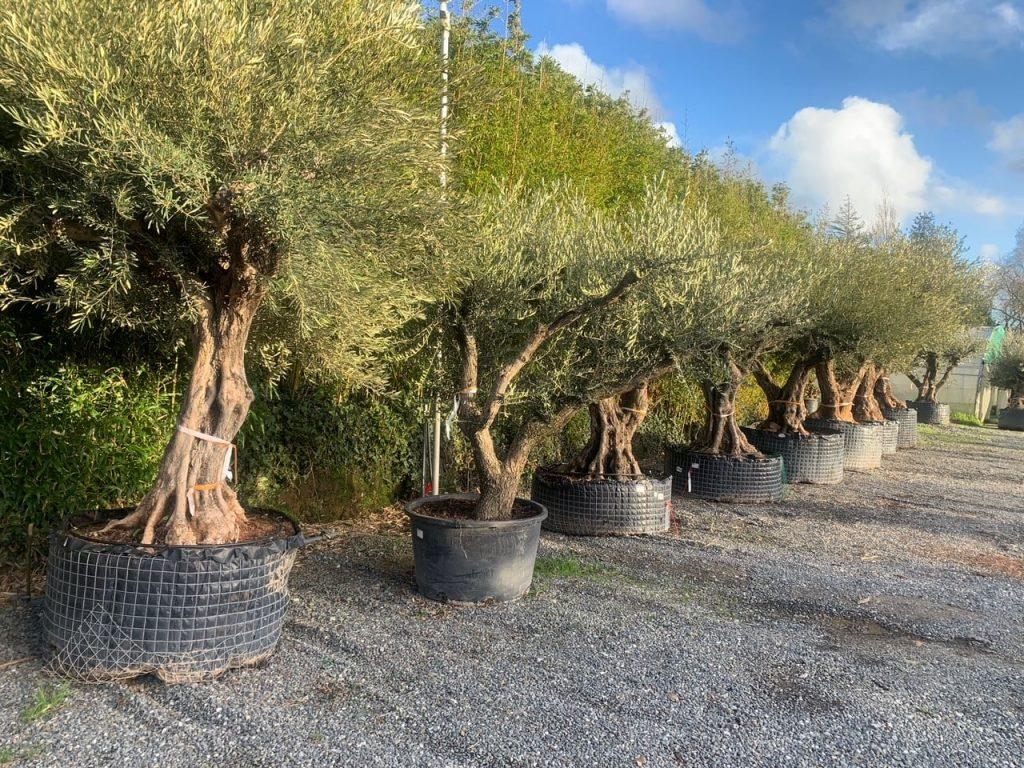 Vente oliviers